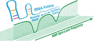 RNA as it folds as visualized by nuclear magnetic resonance (NMR) spectroscopy. Using NMR, researchers can follow structural changes in RNA over real time,...