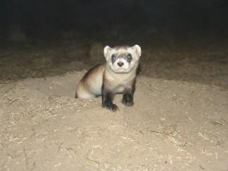 Black-footed ferrets are threatened as their primary prey, prairie dogs, experience population crashes caused by the plague.