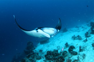 The Wildlife Conservation Society commends the Indonesian Government for adopting a new law prohibiting the fishing and trade of manta rays.