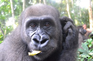 Kinguema, an orphaned juvenile male gorilla being reintroduced into the wild in the Congo by the Aspinall Foundation.