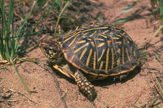 Ornate Box Turtle and Massasauga are among the species in a study that focused on the predictability of species extinction risks due to climate change.