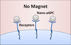 Nanoscale artificial antigen presenting cells (nano-aAPCs) bound to receptors on the T cell surface.