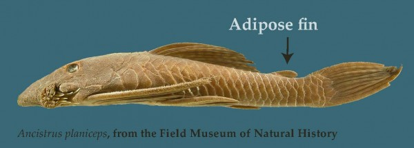 Adipose fin from a specimen at the Field Museum in Chicago