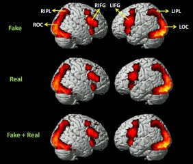 Areas of brain activation when viewing real, fake and fake + real phishing websites.