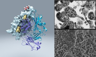 A team led by scientists at The Scripps Research Institute has discovered an unusual bacterial protein that attaches to virtually any antibody, possibly...