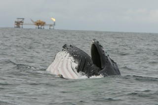 In the waters off the coast of Gabon, a humpback whale lunge-feeds in the near vicinity of an offshore oil platform. In a recently published study in Conservation...