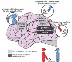Illustration of the mirror neuron system in the human brain which has been implicated in the impaired imitation ability of many patients with schizophrenia.