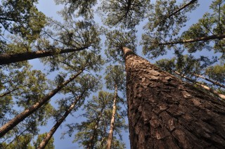 The conifer Loblolly pine ( Pinus taeda L).