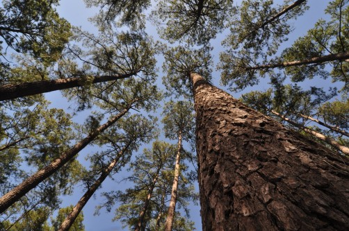Newswise: Loblolly Pine Genome is Largest Ever Sequenced