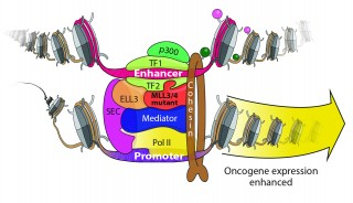 MLL3/MLL4 gain-of-function scenario on the enhancer of oncogenes is shown.