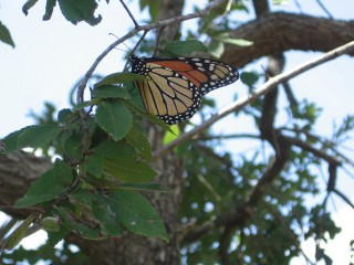 Monarch resting in the central Texas area