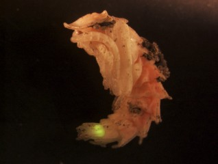 A firefly's photic organ is functional throughout pupation and glows when the pupa is disturbed.