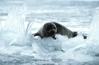 A nerpa seal pictured in Siberia's Lake Baikal