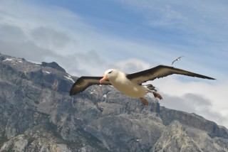 A black-browed albatross flies over Karukinka. The Wildlife Conservation Society announced today that Karukinka – the Rhode Island-sized wilderness it manages...