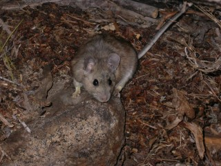 A woodrat emerging from its den at dusk.  The small tags in each ear indicate that this individual had been previously captured and genetic material was sampled...
