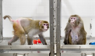 Rhesus monkeys 27-year-old Canto, on a restricted diet (left), and 29-year-old Owen, a control subject on an unrestricted diet (right), were photographed...