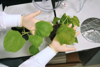 ASU scientists use tobacco to produce therapeutics that have been shown to be effective against West Nile virus.