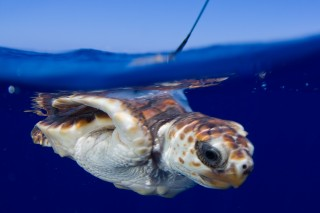 A neonate sea turtle with tracking device attached to its shell makes its way in Atlantic waters.