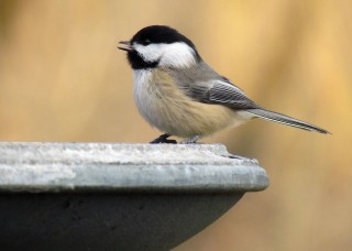 Black-capped Chickadees are common backyard birds across northern North America. The best way to distinguish them from Carolina Chickadees is the larger...
