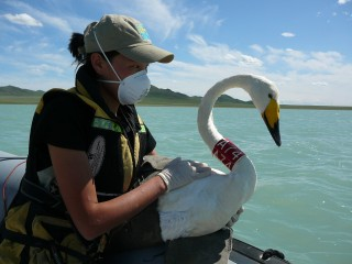 A member of the Wildlife Conservation Society surveillance team prepares to release a whooper swan on a Mongolian lake following sample collection and fitting...