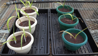 Maize plants grown in stamp sand inoculated with bacteria, left, were considerably more robust than those grown in stamp sand alone, right. Research led by Michigan...