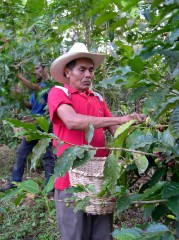 Farmer picking shade grown coffee in Honduras near the town of Trinidad.
