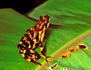 Atelopus varius was previously widespread and common in Costa Rica. It was last seen in 1991 during mass amphibian declines, and subsequently rediscovered...