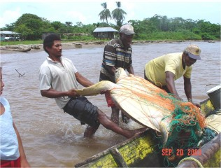 Green turtle being unloaded by fishers in Río Grande Bar community. A 20-year assessment of Nicaragua's legal, artisanal green sea turtle fishery by the Wildlife...