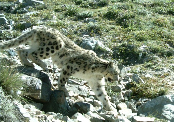 Afghanistan's second national park will protect the snow leopard and several other large alpine species such as the ibex, wolf, and brown bear.