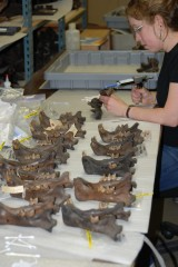 Larisa DeSantis studying the teeth of extinct saber-tooth cats, American lions and cougars at La Brea Tar Pits.