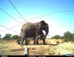 Even well-made and maintained fences may be broken by determined elephants as in this example from Kenya.
