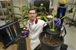 Brookhaven Lab plant scientist Benjamin Babst with corn and sorghum plants. Studies in model plants such as pea, like the one described below, could point...