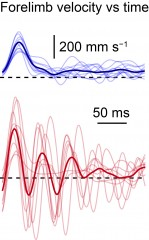 Normal mice move their limbs smoothly when reaching for food pellets. The limbs of mice without the GABAergic interneurons (red line) displayed severe...