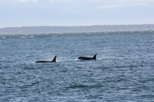 Newswise: Whales Hear Us More Than We Realize