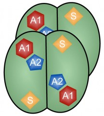 Four identical subunits make up the antiviral SAMHD1 enzyme. Each subunit must bind a molecule of GTP at its A1 site and an A, T, C or G nucleotide at its A2 site...