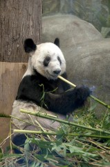 Gastrointestinal diseases are major causes of death among wild and captive pandas. Mississippi State University researchers are working with the Memphis...