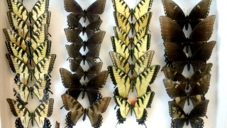 A drawer of eastern tiger swallowtail butterflies at the University of Michigan Museum of Zoology. The butterflies were collected at various locations...