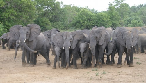 Newswise: WCS to Manage Key Wildlife Reserve for Elephants in Nigeria