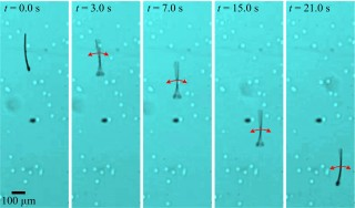 MagnetoSperm performs a flagellated swim using weak oscillating magnetic fields.