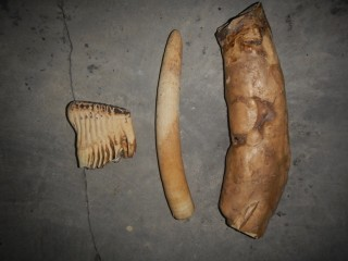 The suspects were arrested in possession of ivory, elephant teeth, and elephant bones. The suspects have also been strongly implicated in the trafficking...