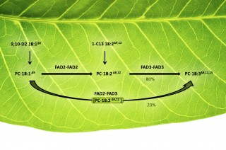 Metabolic channeling: Scientists traced the pathways by which plant oils were desaturated by fatty acid desaturase (FAD) enzymes. Two subsequent desaturating...