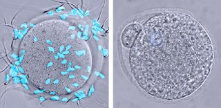 Sperm (blue) latch onto a control egg (left) but can't bind to an egg lacking the glycoprotein ZP2 (right).