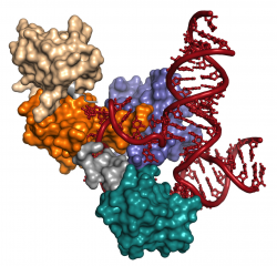 Structure of the U6 complex. U6 RNA is red and the four RRMs of Prp24 protein are beige, orange, aqua and purple, with linkers in gray.