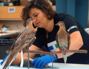 This year marks the 100th anniversary of the passenger pigeon's extinction, when the last individual, named Martha (on the right), died Sept. 1, 1914,...