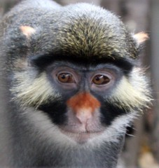 Guenon monkeys have undergone a remarkable evolution in facial appearance as a way of avoiding interbreeding with closely related and geographically proximate...