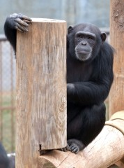 Psychological research with chimpanzees like Tara, above, has found chimps prefer silence to Western music. New research published by the American Psychological...