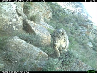 "Snow leopard from Afghanistan's Wakhan District –  known locally as the ""Roof of the World.""  Credit: WCS"