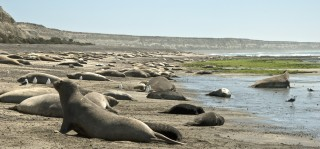 Elephant seals, southern right whales and Magellanic penguins all thrive on the Península Valdés, a newly declared Biosphere Reserve in Argentina.  WCS has worked...