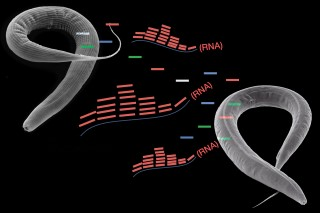 Starvation in roundworms induces changes in small RNAs, resulting in the transmission of acquired traits to subsequent generations.