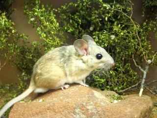 A captive desert woodrat, also known as a packrat, stands on a rock near branches from a toxic creosote bush. A new University of Utah study shows how microbes...
